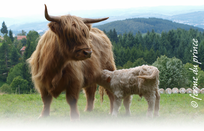 vache highland cattle et son veau